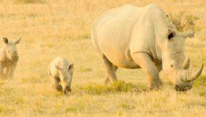 White Rhino with baby calfs