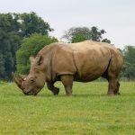 Prague Zoo Rhino